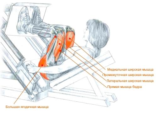 Какие мышцы работают при жиме ногами на тренажере
