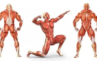 Мускулы, мышцы