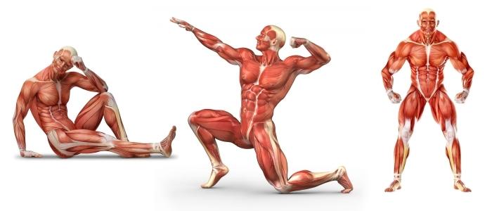 Мышцы и группы мышц человека