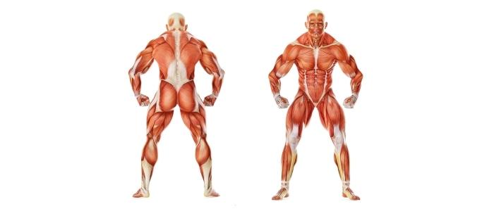 Мышечные группы и мышцы человека